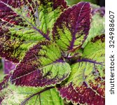 Small photo of Red and green leaves of the coleus plant, Plectranthus scutellarioides