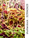 Small photo of Red coleus