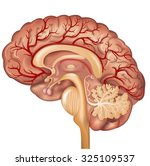 brain and blood vessels of the... | Shutterstock .eps vector #325109537