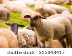Close Up View Of Sheep Who...