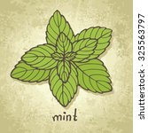 sketch green organic mint... | Shutterstock .eps vector #325563797