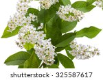 Flowering  Bird Cherry Tree...