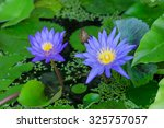 Blue Lotus Bloom In The Mornin...