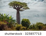 baobab tree with green leaves... | Shutterstock . vector #325857713