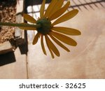 A falling upside down yellow daisy. - stock photo