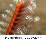 Feathery Sea Pansy  Cnidarian ...