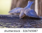 Bluebird Taking A Dive Into Th...