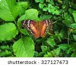 Scarlet Peacock Butterfly...