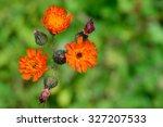 Orange Hawkweed  Hieracium...