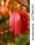 Small photo of Bold vibrant red Tree of Heaven (Ailanthus altissima) leaves in fall