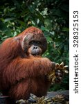 Small photo of Orang Utan alpha male with bananas in Kalimantan Tanjung Puting national park Borneo Indonesia