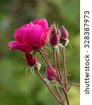 Stock photo a beautiful red rose in the garden 328387973