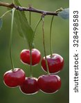 Cherries Hanging On A Cherry...