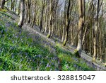 bluebells growing on a steep...