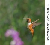 Small photo of Allen's hummingbird hovering