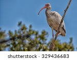 The American White Ibis Is A...
