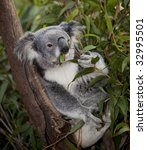 Flexible Koala In Tree
