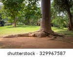 Small photo of Sri Lanka. Kandy - August 16, 2015. The Royal Botanic Gardens. The trunk of the tree agathis Robusta (Paws of Elephant).