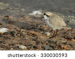 Small photo of Andean puna plover (Charadrius alticola) bird in Chaxa lagoon, Atacama desert, Chile