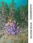 Small photo of A beautiful bush of purple finger sponge among brown algae on the silty bottom of Mahurangi Harbour.