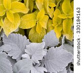 Small photo of Cineraria and coleus flowers background