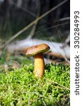 Bay Bolete Mushroom In Forest....
