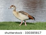 Small photo of Egyptian goose, Alopochen aegyptiac,a single bird by water, Derbyshire, October 2015