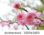 Peach Flower Blooming In The...