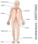 the major arteries and pulse... | Shutterstock .eps vector #330572663