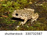 Small photo of Midwife Toad - Alytes obstetricana
