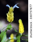 Small photo of SAO PAUL0, SP, BRAZIL - AUGUST 15, 2015 - Golden shrimp, Pachystachys lutea, plant of the Acanthaceae family originating in Peru