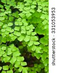 Small photo of Fern color green on white background (Adiantum capillus-veneris L.)
