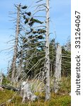 Small photo of dead tree in forest destroyed by acid rain
