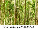 Eucalyptus Tree Forest In Ande...