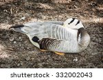 Bar Headed Goose  Anser Indicu...
