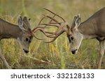 Two Mule Deer Bucks Fighting...