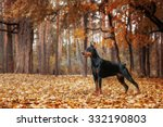 Doberman Pinscher On The...
