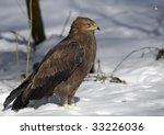 Lesser Spotted Eagle  Aquila...