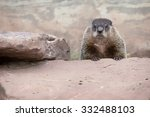 Adult Woodchuck  Or Groundhog ...