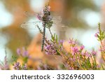 Small photo of Male moorland hawker, Aeshna juncea resting on heather