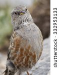 Small photo of alpine accentor on mount olympus
