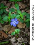 Small photo of Blue flowers of Vinca on background of green leaves