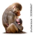Hamadryas Baboon Mother With...