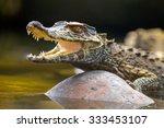 Small Caiman Crocodile...
