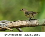 Small photo of American Redstart (Setophaga ruticilla) female perched on a tree branch, Green Cay Nature Center, Delray Beach, Florida, USA