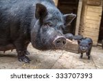 Sow With Piglet On A Farm...
