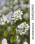 Small photo of flowering amelanchier