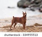 Small photo of Mini Pinscher walking on the beach