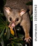 A Brush Tailed Possum In A Tree