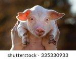 Cute Piglet In Worker's Hands...